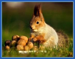 Белка, орехи