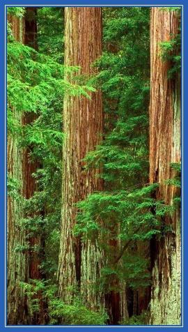 Три кедра, деревья, стволы
