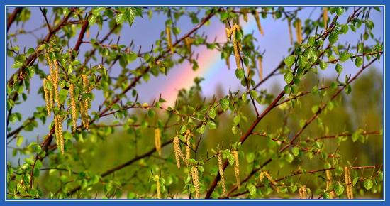 Весенняя береза