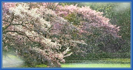 Вишня, облетает. Весна