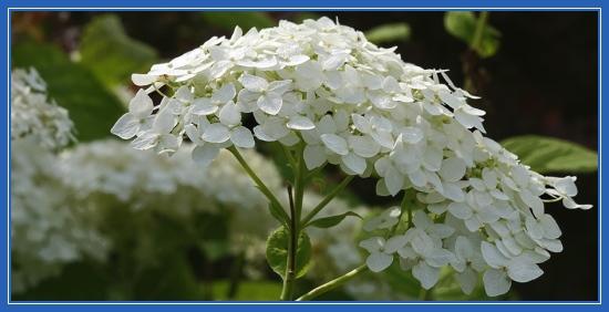 Гортензия - цветы