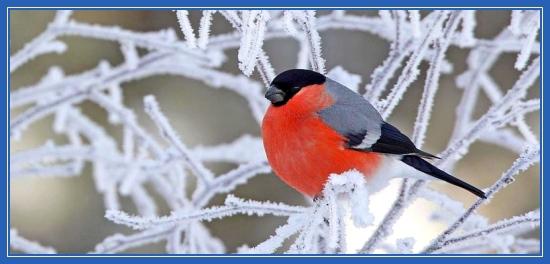 Снегирь, птица, зима