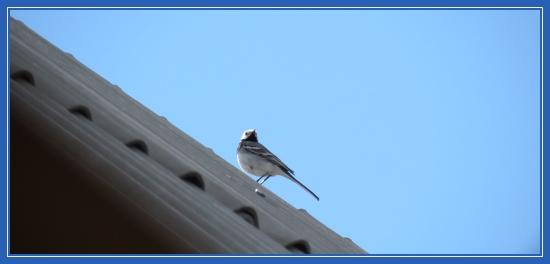 Трясогузка, птица на крыше