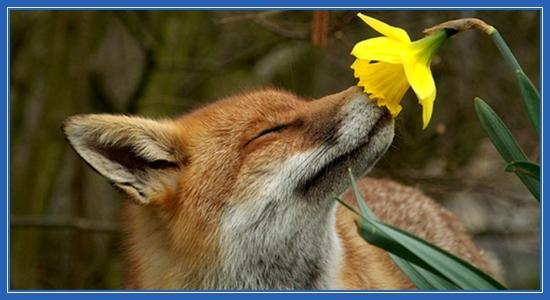 Запах весны! Лиса и цветок