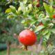 Гранат — очень полезный плод!