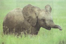 Чтение для детей - О слонах