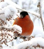 Зима-снигирь