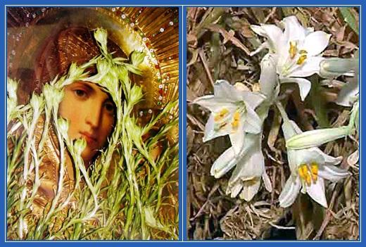 Чудо, распустившиеся лилии