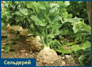Сельдерей - витаминный овощ!