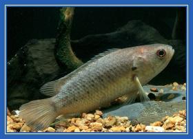 Анабас - рыба ползун
