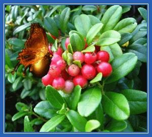 Бабочка, ягоды, лето