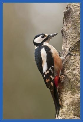 Лесной дятел, птица