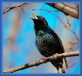 Скворец, весна, птица