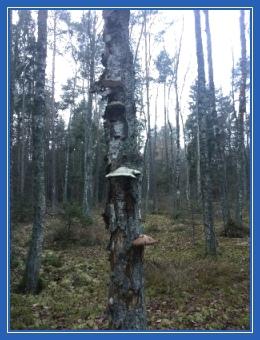 Ноябрь, декабрь, лес, береза, чага