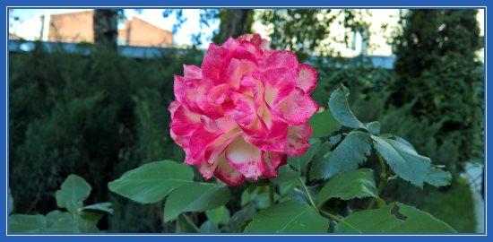 Роза Сретенского монастыря