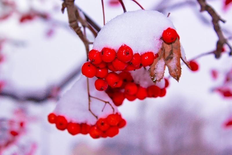 09. Рябина в первом снегу