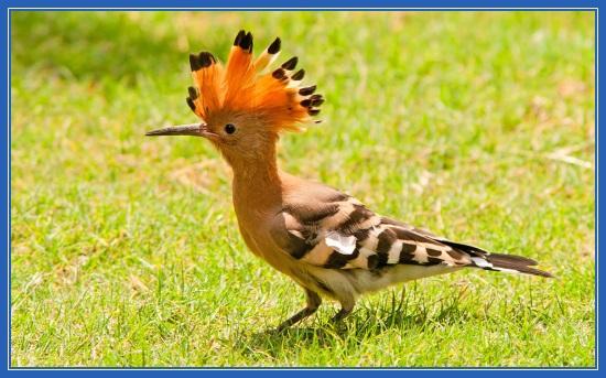 Удод, птица, трава