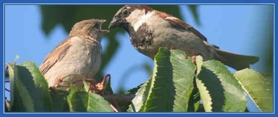 Воробей кормит птенца