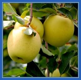 Золотые (желтые) яблоки