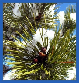 Сосна, елка, сосновые почки