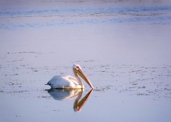 Пеликан | Рассказ