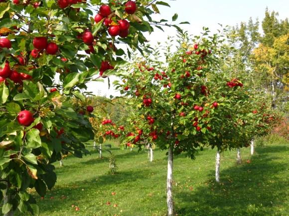 Оптинские яблоки | Рассказ