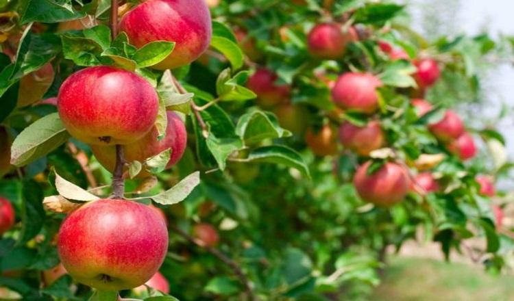Есть яблоки ДО Яблочного Спаса – ГРЕХ?