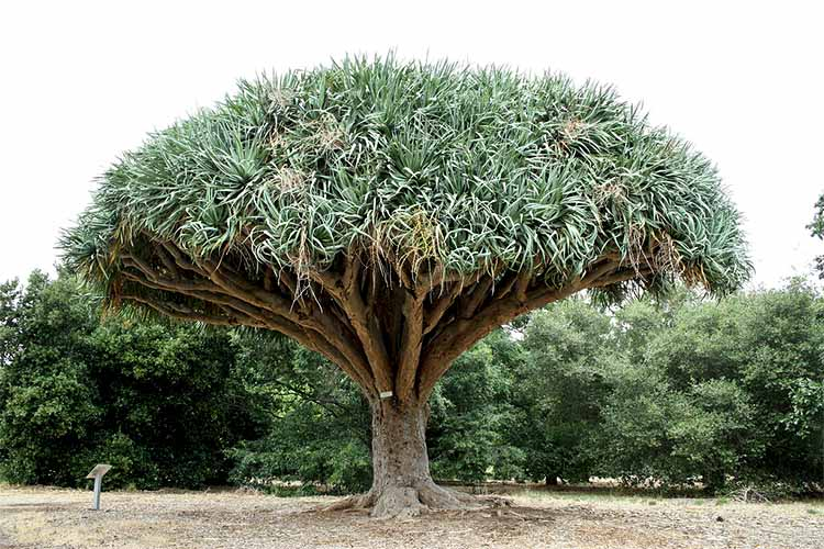 Драконово дерево (драцена)