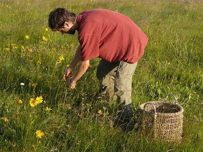 Собирает травы