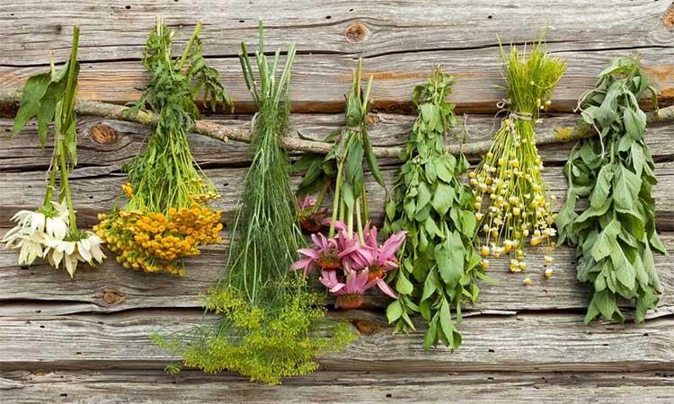 Лекарственные травы сушатся