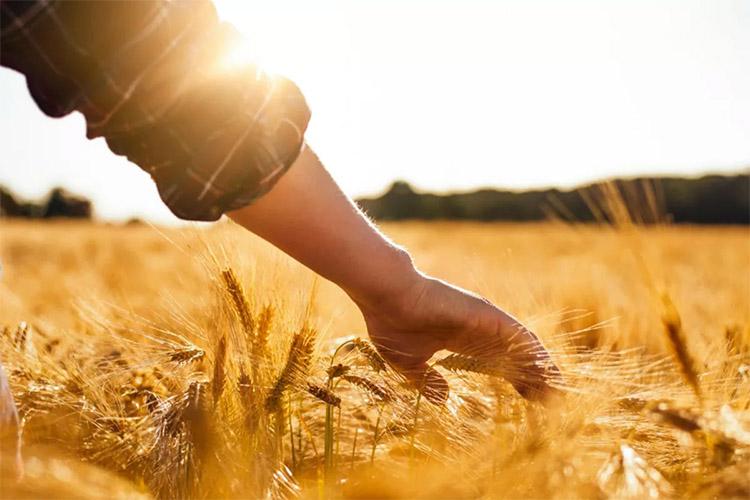 Мужчина в поле пшеницы