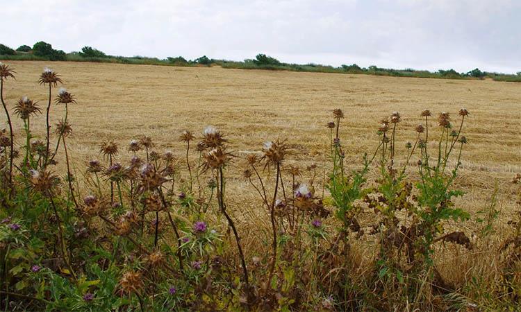 Сорняки в поле