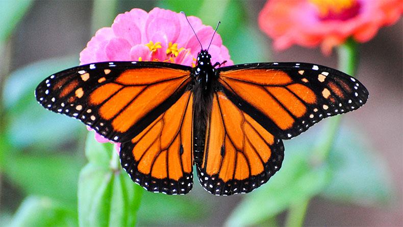 Бабочка «Монарх»